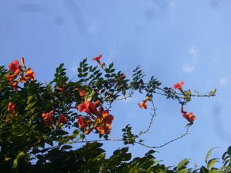 ウゼンカヅラ花